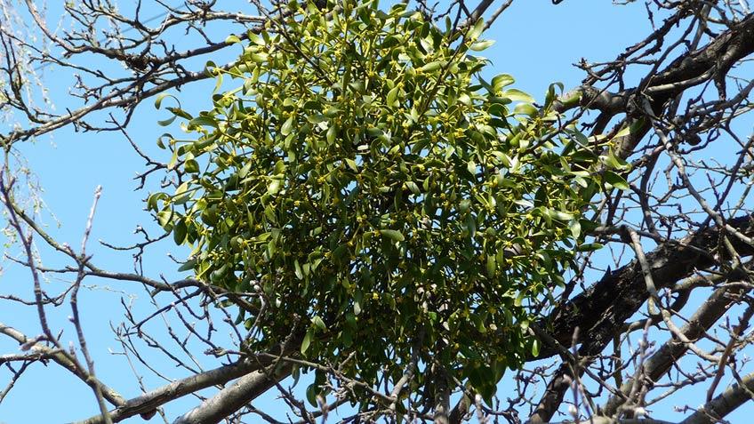 омела белая на дереве